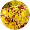 Hamamelis Virginiana (Witch Hazel) Extract