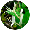 Lonicera Japonica Extract